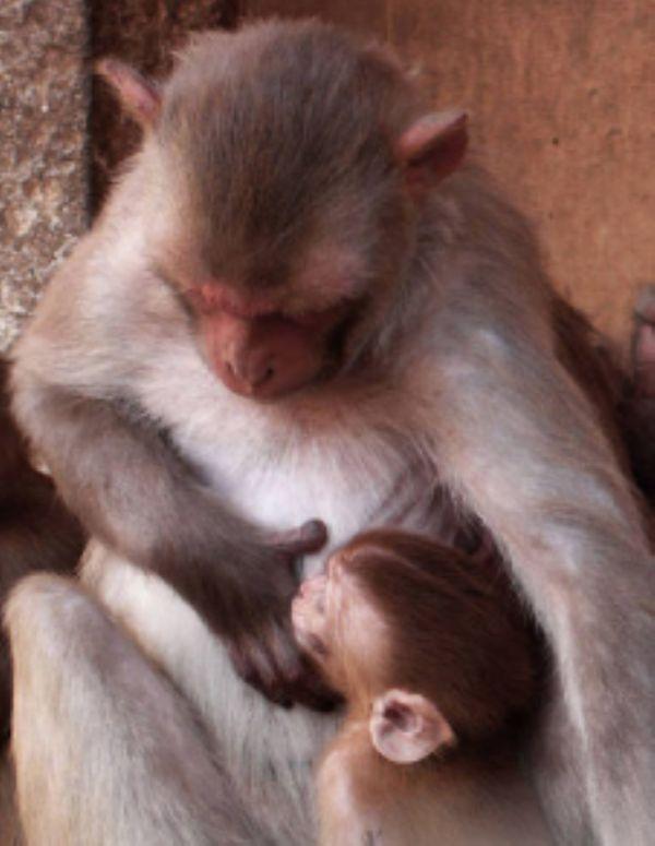 Yavru Cinayetlerine Karşı Maymun Annelerin Düşük Taktiği