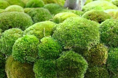 Sudaki zararlı arseniği doğal yollardan temizleyen yosun