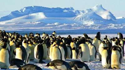 Antartika'da 1,5 milyon penguen sürüsü keşfedildi